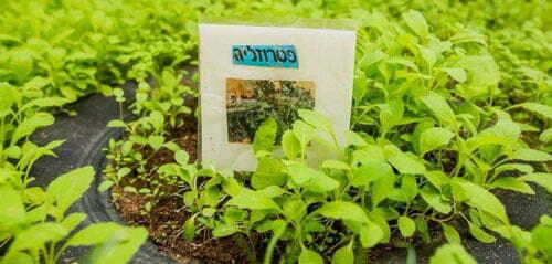 בואו להכיר את עיר הגנים – רמת גן, עלי דפנה